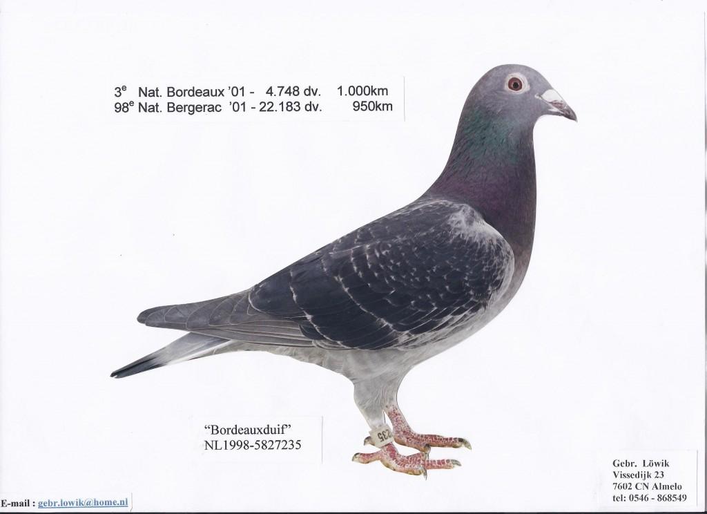 NL98-5827235 Bordeauxduif